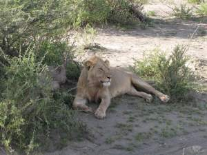Cat on Safari 2